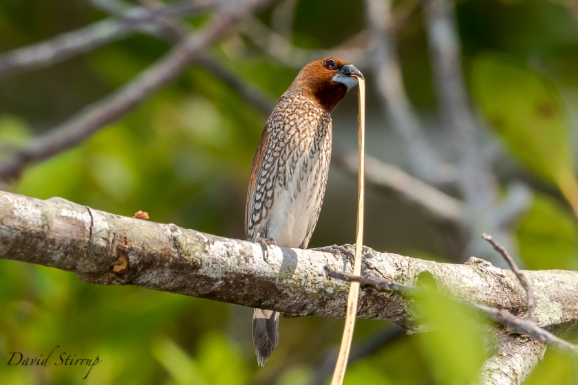 HKT scaley breasted munia 2 phuket