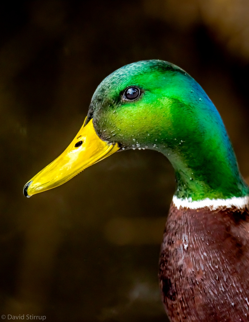 YUL portrait of a duck.jpg
